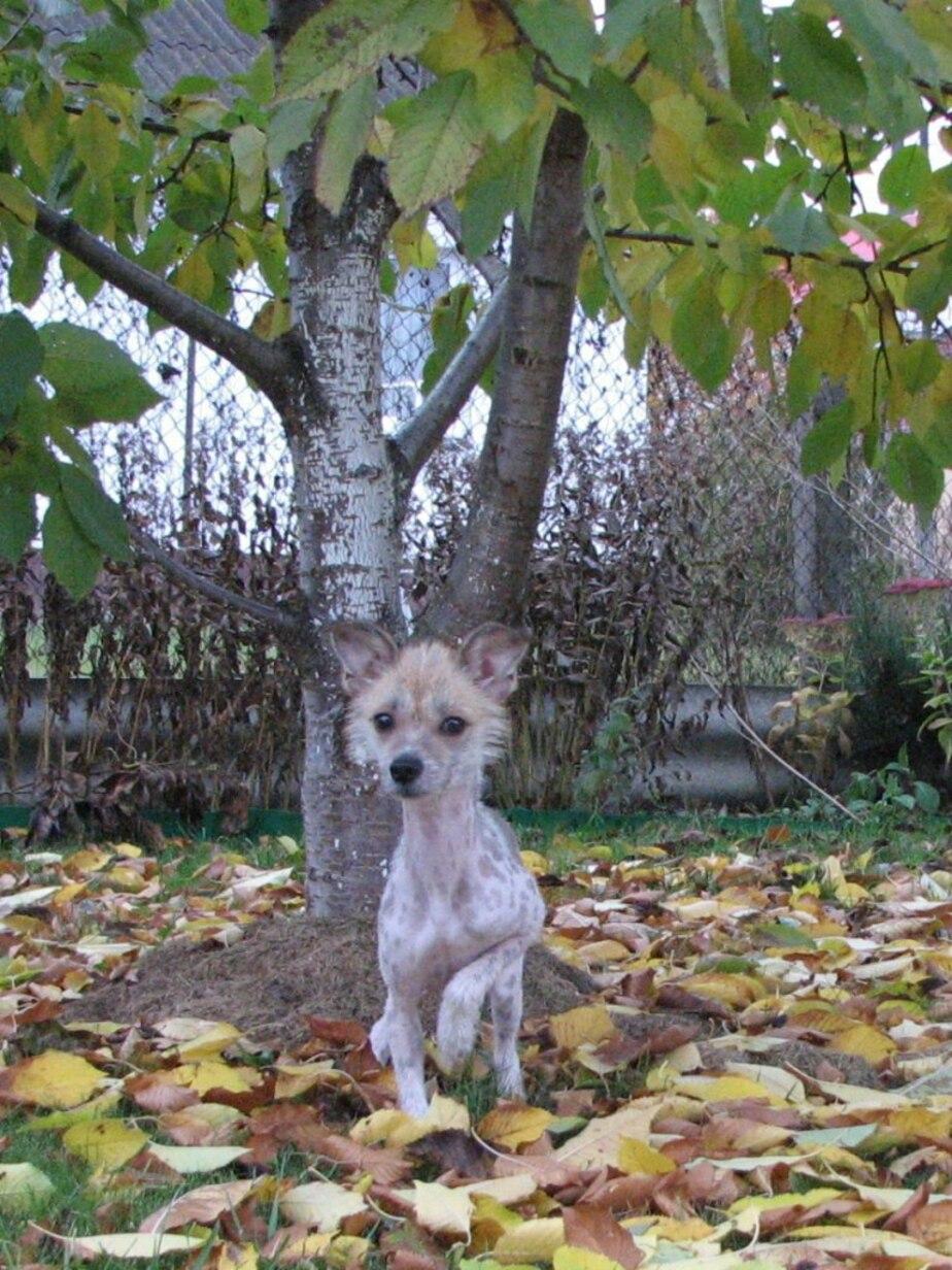 Лысую собачку оставили в центре Калининграда, привязав к дереву