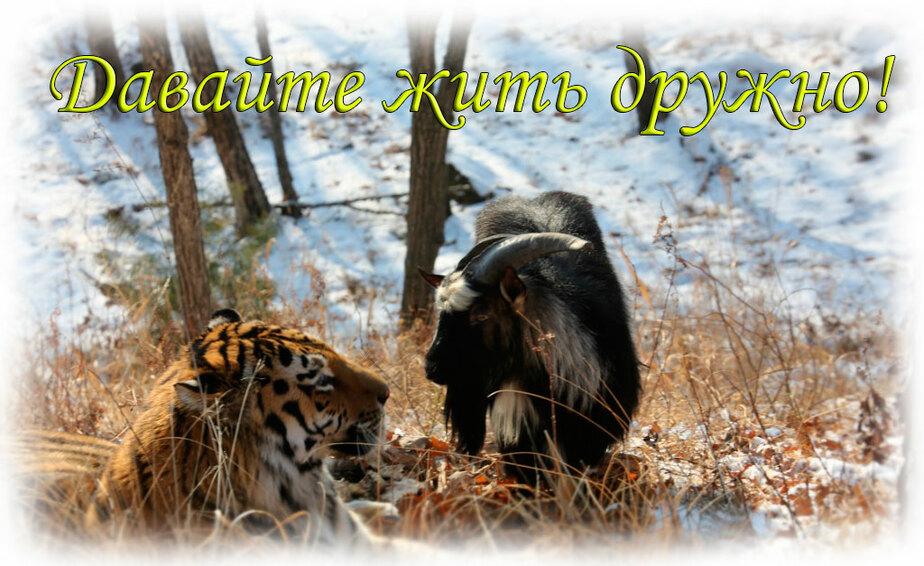 Глава Приморского сафари-парка хочет установить в Калининграде баннер с Тимуром и Амуром