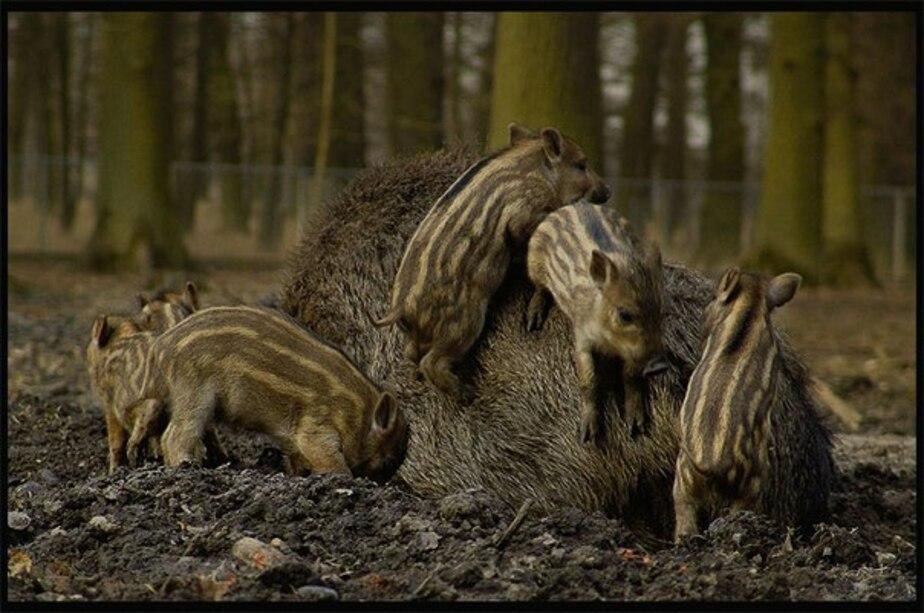 Калининградские охотоведы спасли кабаниху и шесть малышей от рук браконьеров - Новости Калининграда