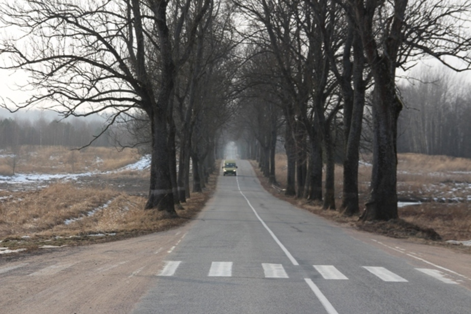 В Калининградской области в этом году вырубили больше придорожных деревьев