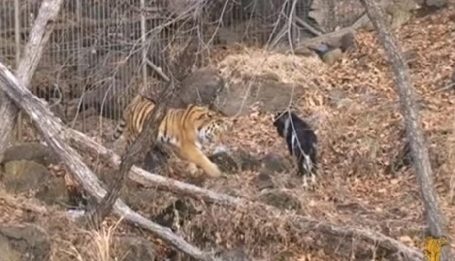 Козла Тимура временно отселили от тигра Амура