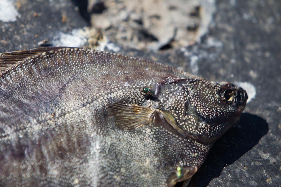 Учёные обнаружили в балтийской рыбе новый вид опасных веществ - Новости Калининграда