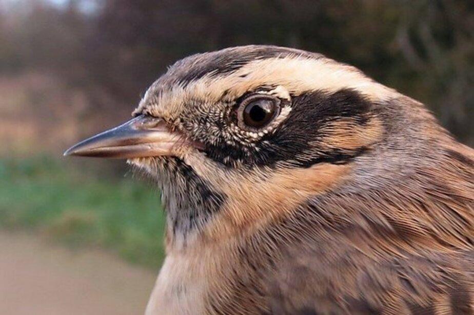 В Литве открыт новый вид птиц