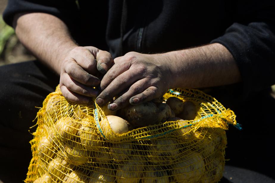 В Полесске пройдет День картошки  - Новости Калининграда
