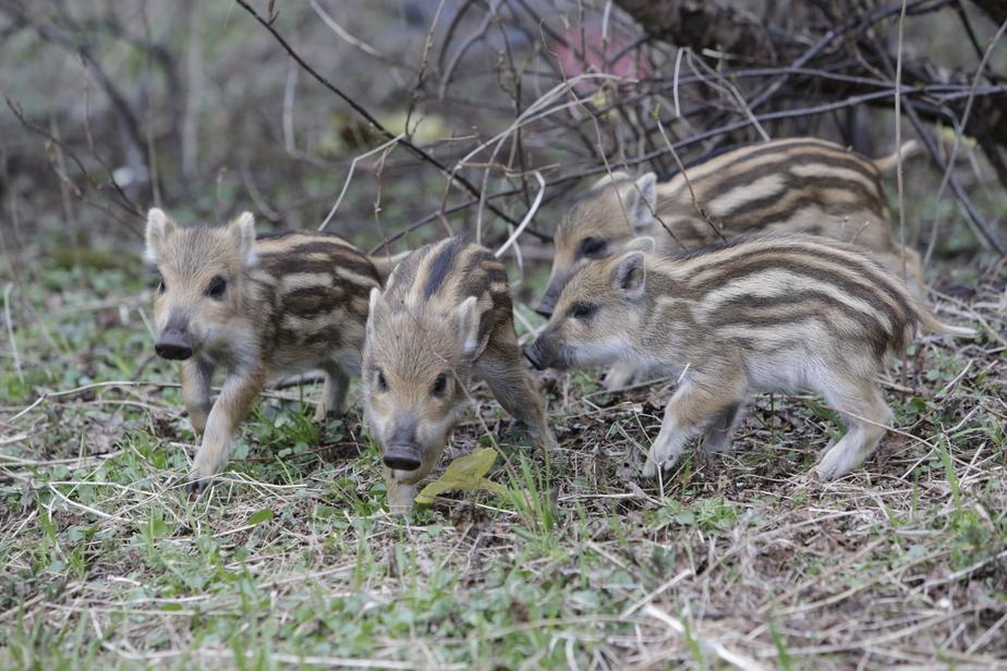 В Литве распространяется африканская чума свиней - Новости Калининграда