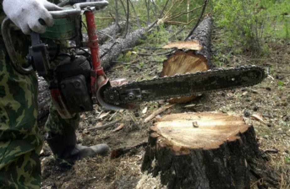 В Правдинском районе мужчина заплатит штраф за то, что не сам рубил лес  - Новости Калининграда