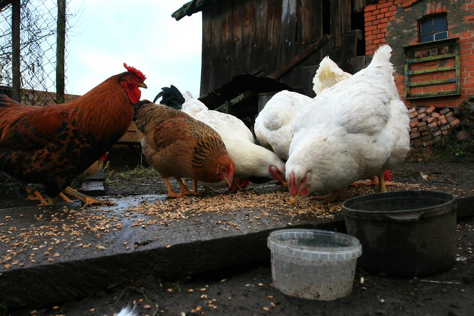 Почему калининградские куры перестали нести яйца - Новости Калининграда