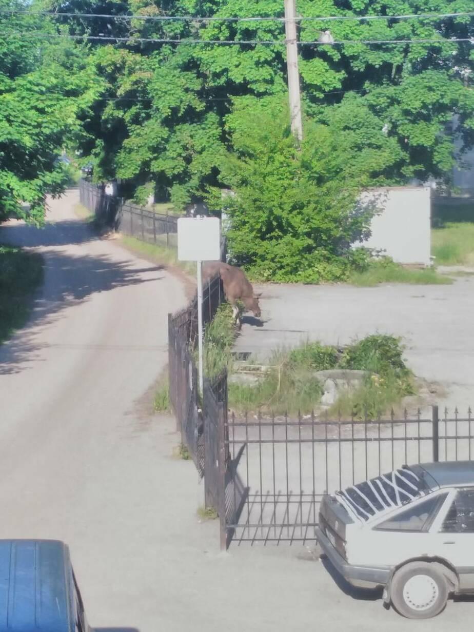 Погибший в Прибрежном лось не смог перепрыгнуть забор, потому что увяз копытами в песке - Новости Калининграда | Фото: очевидец