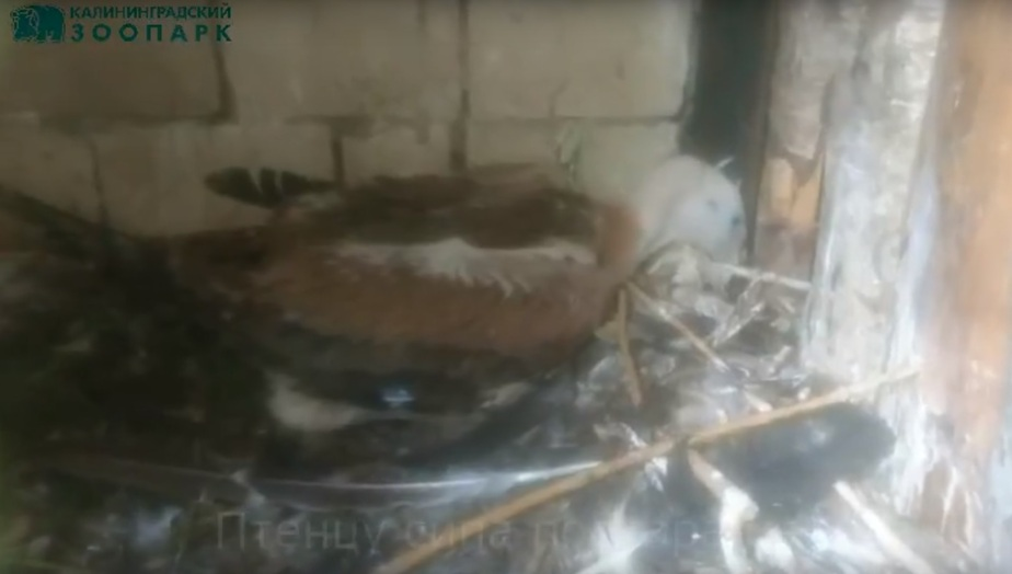 В Калининградском зоопарке родился птенец белоголового сипа - Новости Калининграда | Кадр видеозаписи Маруси Рязановой