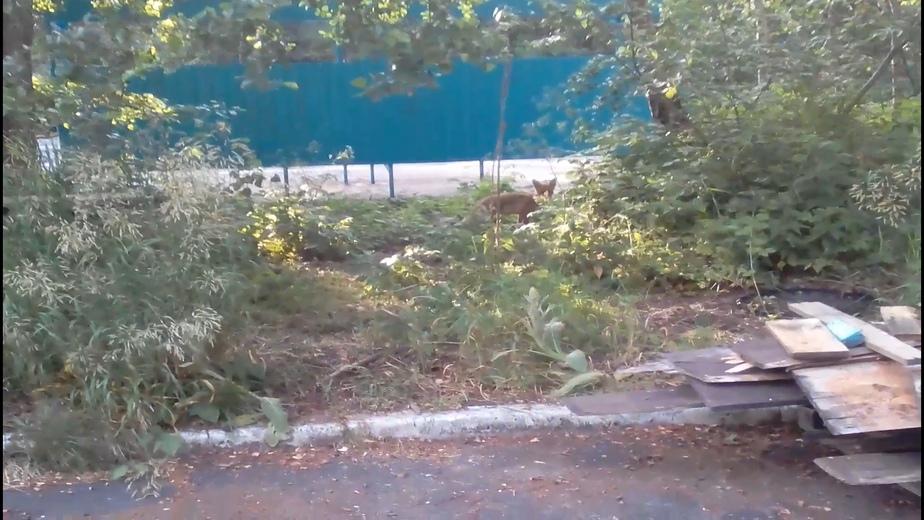 Жители Морского сняли на видео лису, бегавшую по улицам посёлка - Новости Калининграда   Фото: кадр из видео
