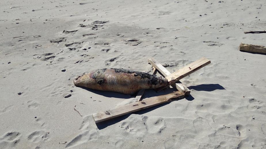 В Зеленоградске туристы обнаружили на пляже мёртвого тюленя - Новости Калининграда | Фото очевидца