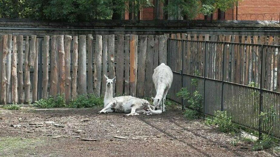В Калининградском зоопарке сотрудники прозвали новорожденную ламу Жарой - Новости Калининграда | Фото: Алексей Пожидаев