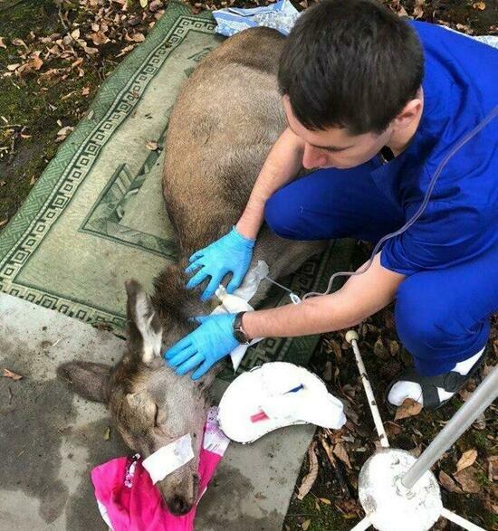 В ветклинике рассказали о состоянии оленя, которого нашли во дворе школы №56 - Новости Калининграда | Фото: научно-исследовательский центр ветеринарии и зоотехнии КГТУ