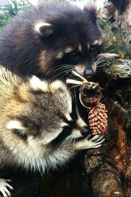 Калининградский зоопарк попросил принести енотам кедровые шишки - Новости Калининграда | Фото: пресс-служба Калининградского зоопарка