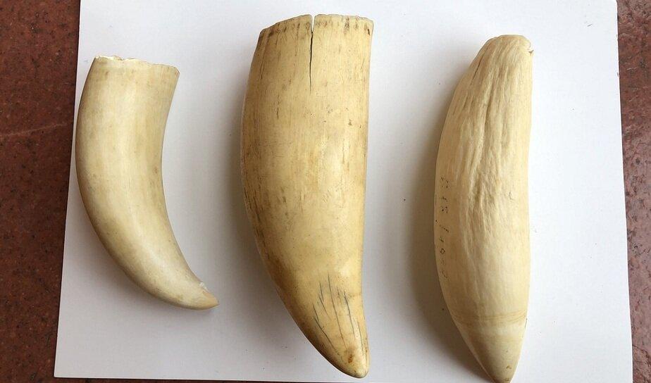Сокровища, забытые в кладовках: кому и зачем можно продать зуб кашалота - Новости Калининграда