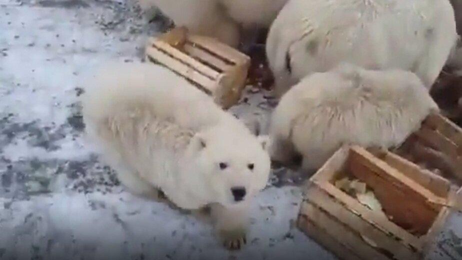 В Архангельской области ввели режим ЧС из-за нашествия белых медведей (видео) - Новости Калининграда | Кадр видеозаписи в Instagram