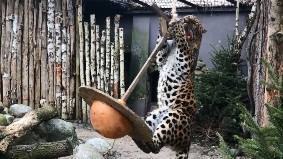 В Калининградском зоопарке для леопарда Хана повесили качели (видео) - Новости Калининграда   Фото: кадр видеозаписи