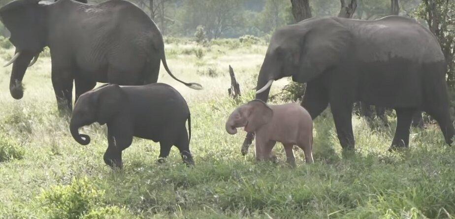 В ЮАР попал на видео необычный слонёнок розового цвета - Новости Калининграда | Фото: кадр видеозаписи
