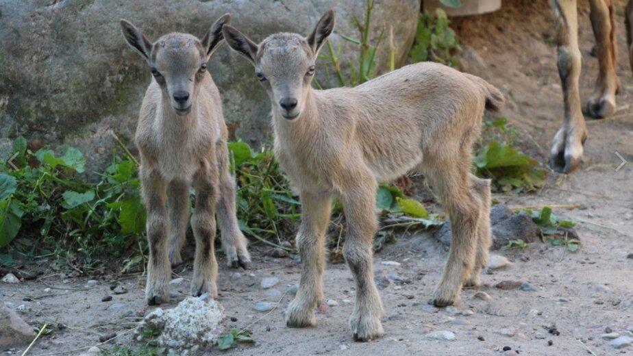 В Калининградском зоопарке пополнилось семейство винторогих козлов (фото) - Новости Калининграда | Фото: пресс-служба Калининградского зоопарка