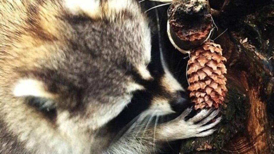 В Калининградском зоопарке выхаживают енота, проглотившего детскую игрушку - Новости Калининграда | Фото: пресс-служба Калининградского зоопарка