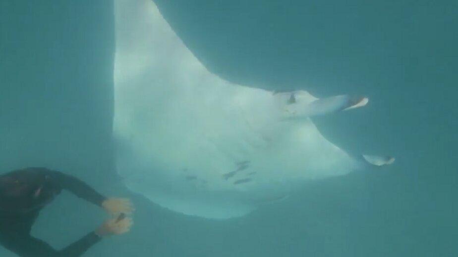В Австралии гигантский скат подплыл к людям, чтобы избавиться от рыболовного крючка в глазу (видео) - Новости Калининграда | Изображение: кадр из видео