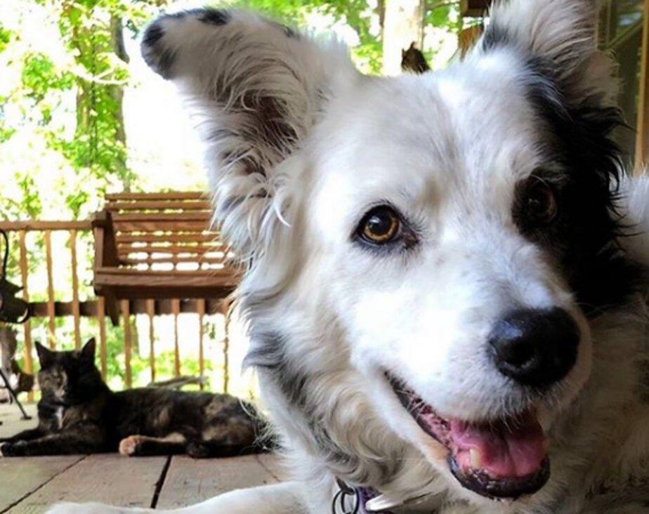 В США умерла собака, которую называли самой умной в мире   - Новости Калининграда   Фото: Instagram.com/chaserthebordercollie