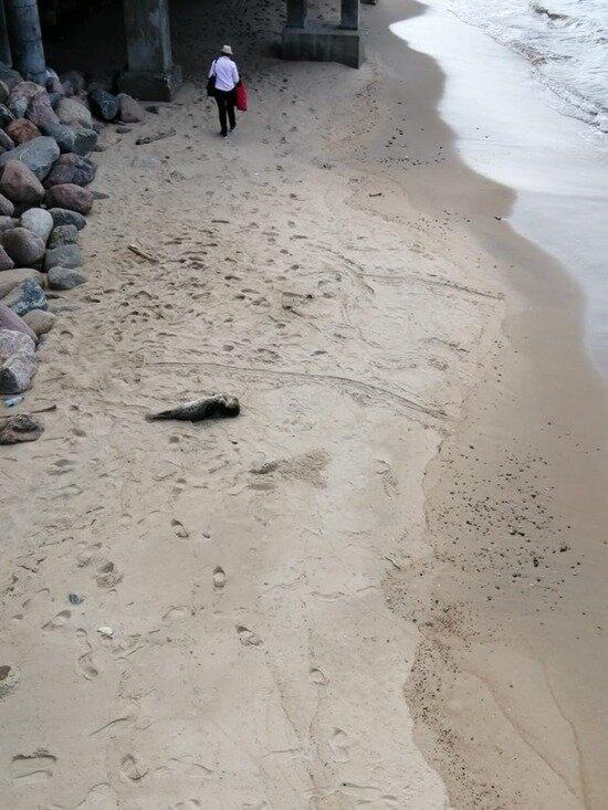 Выбравшийся к солнечным часам в Светлогорске тюлень уплыл в море - Новости Калининграда | Фото: очевидец
