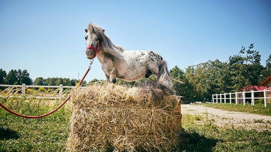 В Польше найден самый маленький в мире конь   - Новости Калининграда   Фото: guinnessworldrecords.com