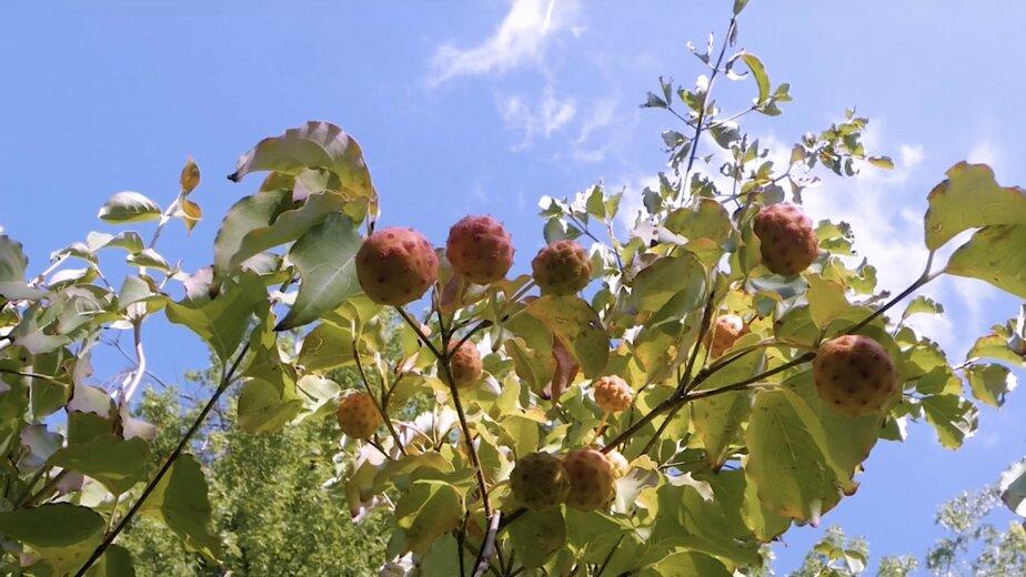 В Ботаническом саду Калининграда плодоносит редкое растение (видео) - Новости Калининграда | Изображение: кадр из видео