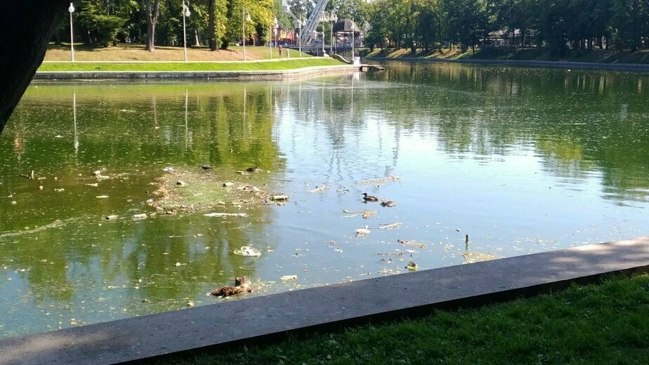Стала известна причина гибели уток на Верхнем озере в Калининграде - Новости Калининграда | Фото: очевидец