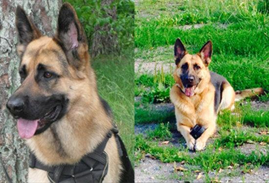 Вышедшие на пенсию полицейские собаки Роза и Райс обрели хозяев менее чем за сутки - Новости Калининграда | Фото: пресс-служба регионального УМВД