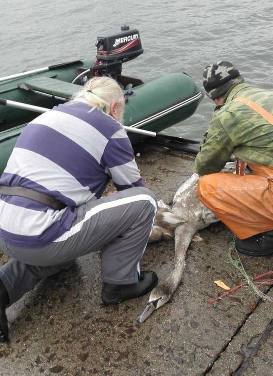 В Светлом спасли лебедя, к лапе которого была привязана двухметровая верёвка (фото, видео) - Новости Калининграда | Фото: Андрей Каминский