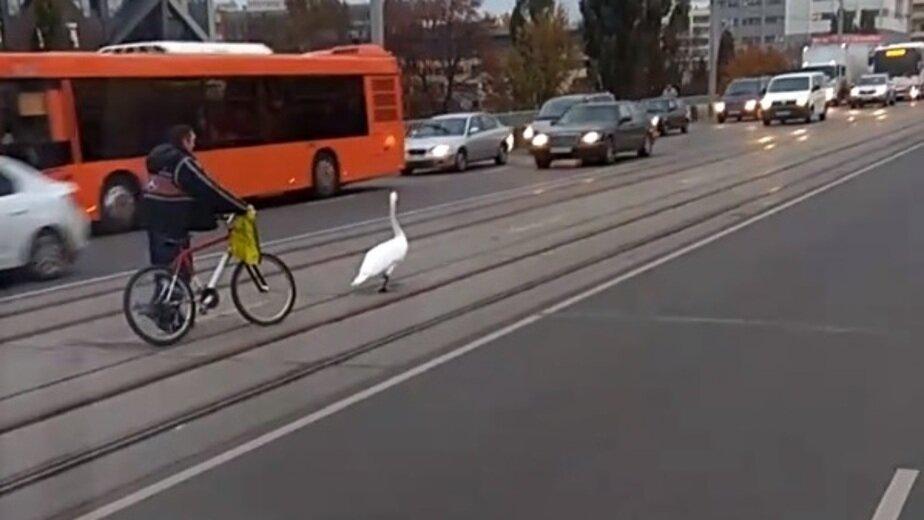 Гулявший по эстакадному мосту лебедь погиб - Новости Калининграда | Скриншот видеозаписи