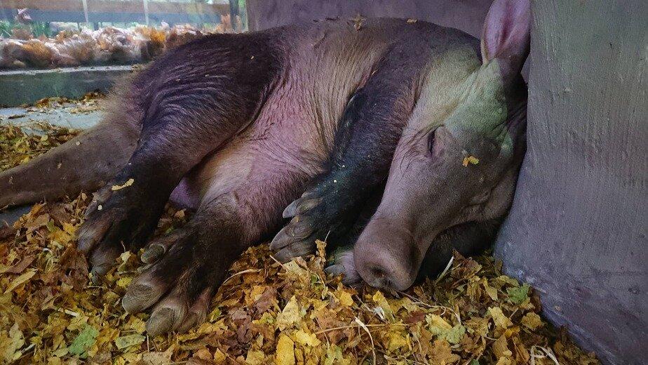 Сумеречное животное, любит пол с подогревом: в Калининградском зоопарке показали спящего трубкозуба (фото)   - Новости Калининграда | Фото: пресс-служба калининградского зоопарка