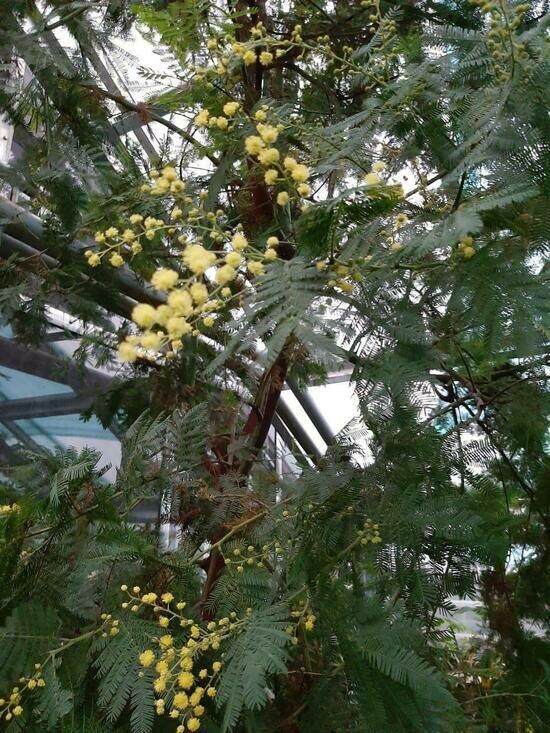 В ботаническом саду Калининграда мимоза расцвела на месяц раньше срока (фото) - Новости Калининграда | Фото: пресс-служба сада