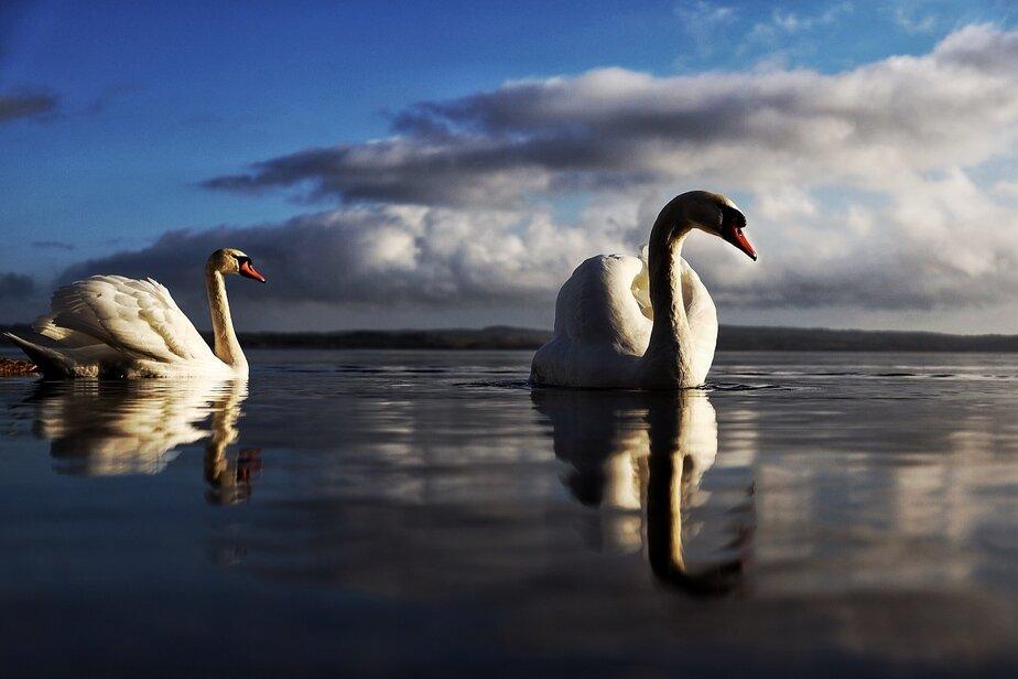 Лебеди на Виштынецком озере - Новости Калининграда | Александр Подгорчук