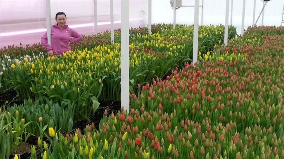 К 8 Марта под Калининградом вырастили тюльпаны необычных расцветок и размеров - Новости Калининграда