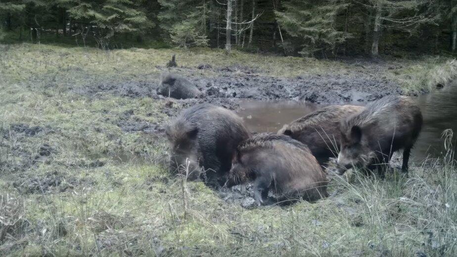 В Литве сняли на видео купающихся в грязи кабанов - Новости Калининграда | Изображение: кадр из видео