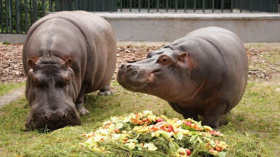 Бегемоты Миля и Глясик: вместе около десяти лет | Фото: пресс-служба Калининградского зоопарка