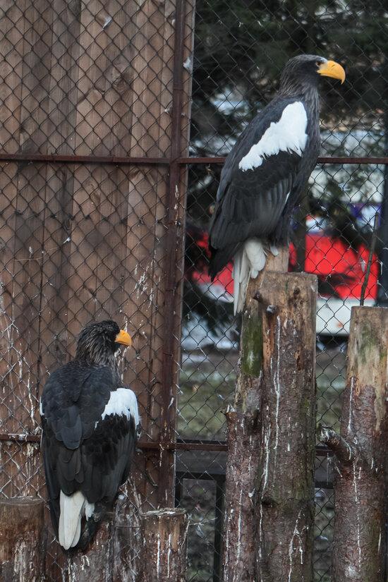 Белоплечие орланы Гаврош и Глаша: вместе более шести лет   Фото: пресс-служба Калининградского зоопарка