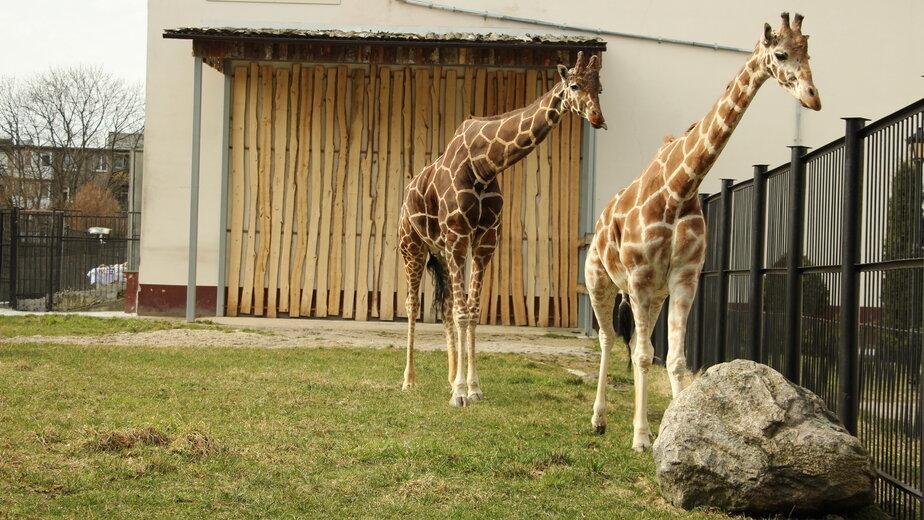 Жирафы Мэру и Ива: вместе девять лет   Фото: пресс-служба Калининградского зоопарка