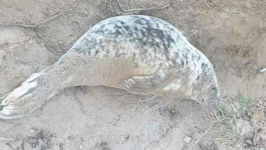 Зоопарк спасает истощенного тюленёнка, найденного на пляже под Пионерским (фото, видео) - Новости Калининграда   Фото: пресс-службе зоопарка