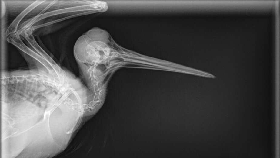 Что внутри у вашей кошки: редкие рентген-снимки, собранные ветврачом из Калининграда - Новости Калининграда | Фото: Матвей Симаков