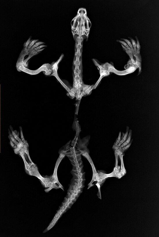 Что внутри у вашей кошки: редкие рентген-снимки, собранные ветврачом из Калининграда - Новости Калининграда | Фото: из архива VetRg, автор — Ольга Сузи (Санкт-Петербург)