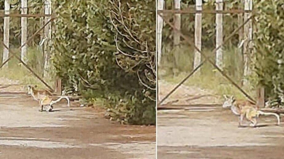 Жительница Литвы обнаружила возле своего дома кенгуру (фото)   - Новости Калининграда | Фото: Facebook