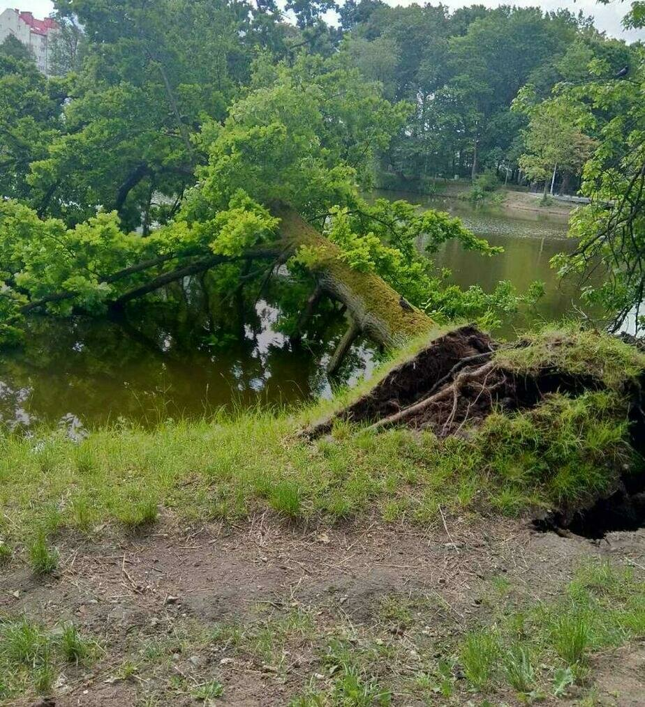 В Южном парке Калининграда рухнуло дерево (фото) - Новости Калининграда | Фото очевидца