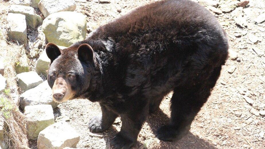 Медведь-барибал | Фото: официальный сайт зоопарка