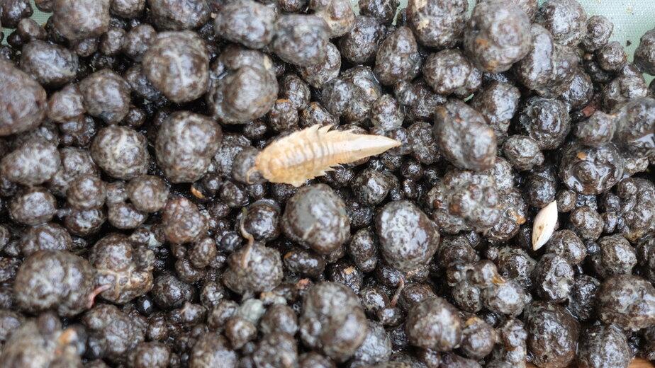 Морской таракан | Фото: Низами Багиров