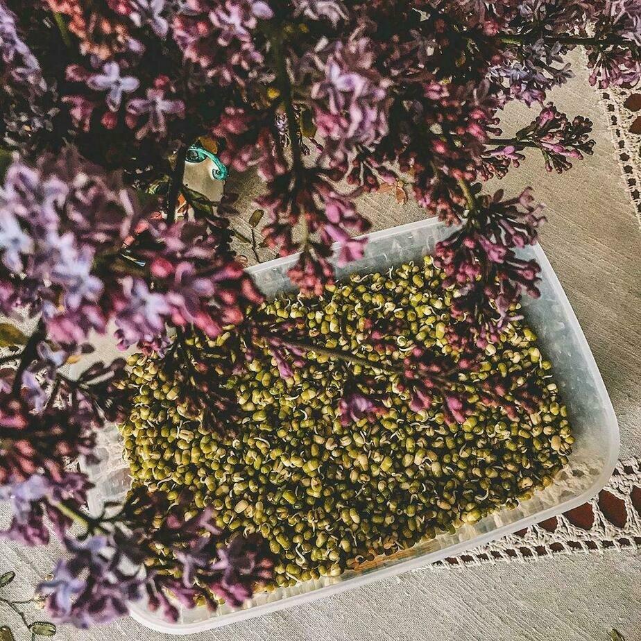 На вкус пророщенный маш напоминает молодой горошек | Фото: Галина Лунеко