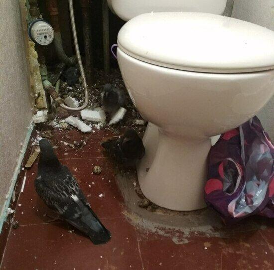 В пятиэтажке под Калининградом сломали стену в квартире, чтобы достать замурованных голубей (фото) - Новости Калининграда | Фото предоставила героиня публикации